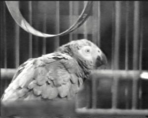 Polly - Miss Bourne's parrot